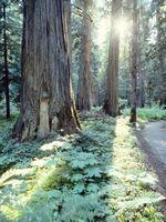Gli svantaggi di Western Red Cedars