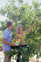 Come potare primo anno alberi da frutto