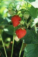 Come piantare fragole giugno