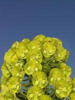 Come prendersi cura di piante Euphorbia