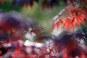 Nome botanico per Acero giapponese