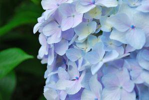 Come coltivare fiori blu