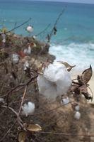 Che Parassiti Altri sono dannose per pianta del cotone?