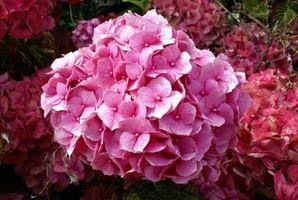 Quanta acqua un fiore Ortensia bisogno?