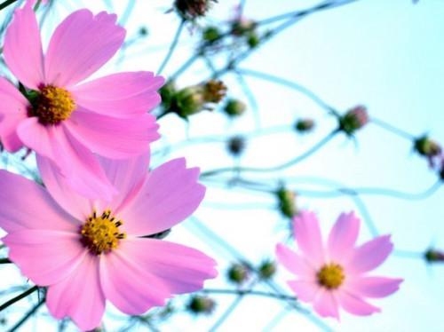 Come raccogliere Cosmo Semi dal vostro giardino