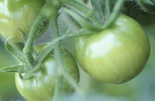 Tipi di terreno per la coltivazione del pomodoro
