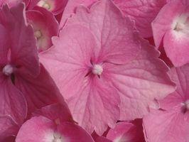 Perché le foglie del Hydrangea Droop?
