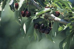 Piantare contenitore per un Nano Ultra Cherry Tree