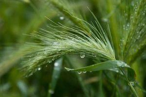 Quando pianta annuale Ryegrass