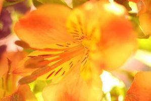 Circa l'arancio fiori di giglio