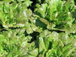 Spaziatura per piantare Romaine Lettuce