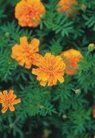 Elenco dei Flower Fairies