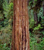 Cura di Redwood Burls
