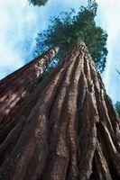 Come utilizzare un Redwood pacciamatura di corteccia