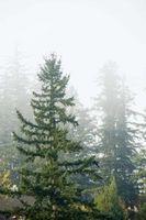 Informazioni sulla malattia di alberi sempreverdi Called Needlecast