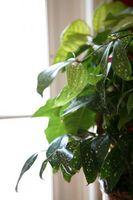 Come coltivare Philodendron Vines in acqua