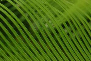 Come tagliare un Coontie Palm