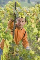 Come si coltiva l'uva senza semi?