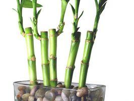 Come faccio a sbarazzarsi di muffa su Roots Lucky Bamboo?