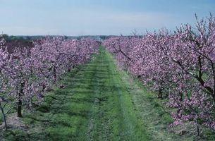 Come potare nuovo Nano Elberta Peach Trees