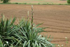 Quanta acqua un Yucca bisogno?