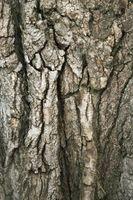Larve di insetti nella corteccia di alberi Hickory