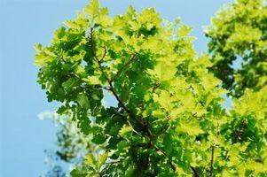 Sarà la nuova crescita sui miei alberi di quercia rigenerarsi dopo un gelo?