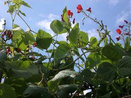 Macchie marroni sulle foglie di fagiolini