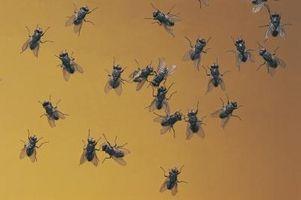 Che cosa è un modo organico per sbarazzarsi di mosche all'interno della casa?