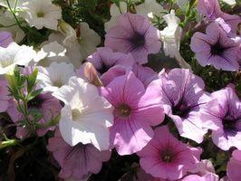 Come piantare semi ibridi F2