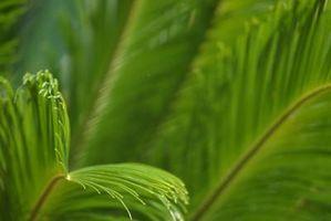 Fa un Sago Palm Bloom?