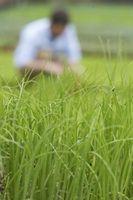 Come coltivare erba sotto un albero di Crabapple