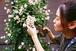 Come ripiantare cespugli di rose