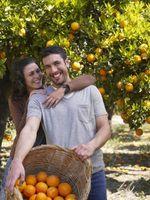 Il momento migliore per raccogliere arance navel
