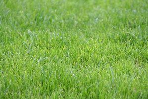 La malattia in Zoysia erba