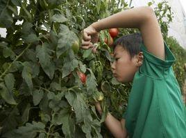 Che cosa è un albero di pomodoro?