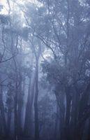Quanti tipi di eucalipto foglie ci sono?