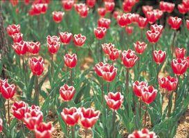 A proposito di tulipani rosa con bordi bianchi