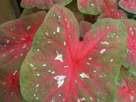 Piante tropicali con il verde e foglie rosse