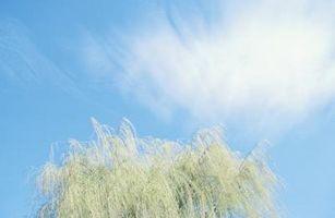 Come coltivare Weeping Willow alberi in North Carolina