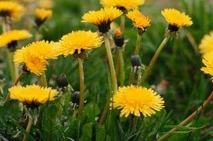 Come ottenere Erba a crescere in un prato che è per lo più Weeds