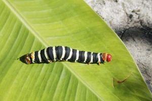 Giardino Parassiti: bruchi neri con strisce bianche e rosse