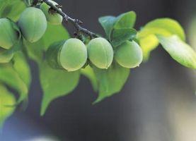 Tipi di alberi con poco verde Bacche