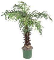 Come piatto fino Palm Piante