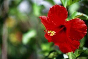 La cura del Cavatappi Hibiscus