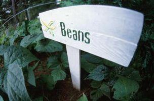 L'effetto dell'acqua sulla germinazione dei semi Bean