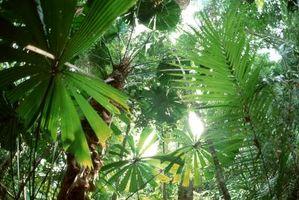 Foxtail Palm Seed fatti