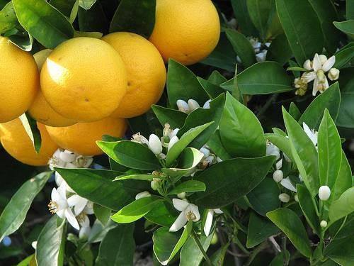 Le malattie della Florida arance navel