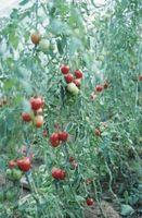 Come trattare Pomodori con il fiore Rot