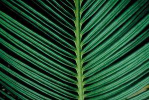 Macchie bianche sul foglie di palma